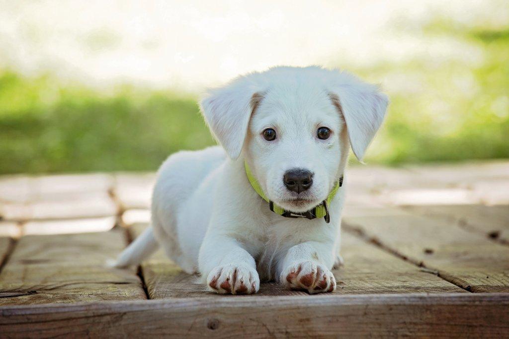 white puppy dog animal cute 1003291615 1024x683 - 智樂小家優 智慧家庭 您專屬的生活管家